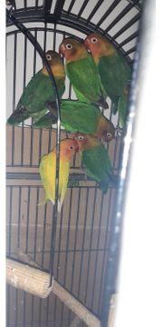 unzetrennliche papageien