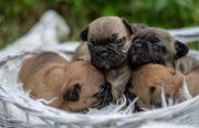 Französische Bulldoggen Babys weiblich männlich