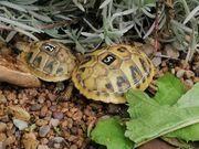 Griechische Landschildkröten 2 Jahre alt