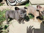Französischer Bulldoggenwelpe zu verkaufen
