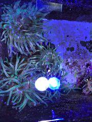 Meerwasser Symbioseanemonen