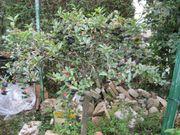 Aronia Apfelbeere Baum