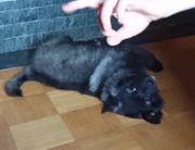 Spitzhündinwelpe darkwolfsable