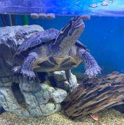 2 5 Jahre alte Annam-Bachschildkröte