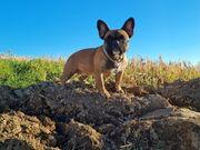 Wurfankündigung Französische Bulldoggen Ende März