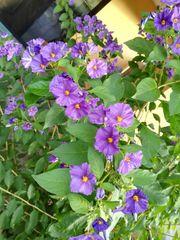 Enziansträucher Pflanze Garten
