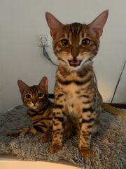 2 unserer Bengalen kitten suchen