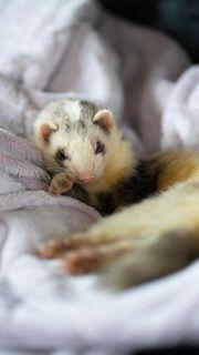Frettchen Pflegestelle fürs Tierheim gesucht