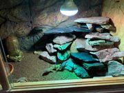 Leopardgecko Männlich kostenlos abzugeben