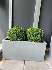 Pflanzenkiste mit 2 Buchsbäumen