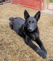 Schüchterner Gyros kroatischer Schäferhund Mischlingswelpe