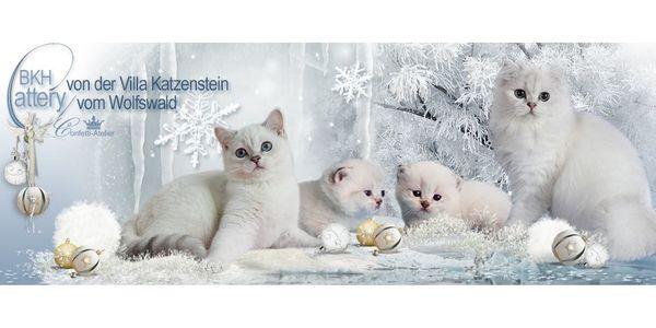 Suche Gleichgesinnte Katzenliebhaber Zuchtpartnerinnen