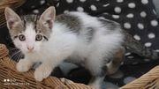 Kittenjunge Tigger sucht seine Dosenöffner