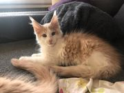 Creme White Maine Coon Kater