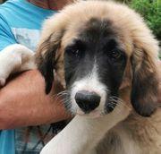 Peter Pan 4 Monate Herdenschutzhund
