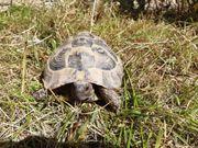 Griechische Landschildkröte 2 Männlich Testudo