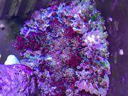 MinMax Anemonen Stichodactyla tapetum Meerwasser