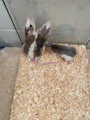 Ratten mittelgroß abzugeben