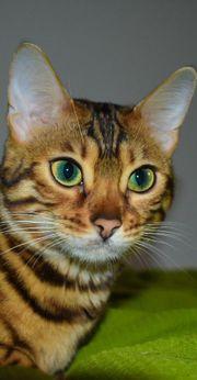 Wunderschöne junge Bengalkatze mit top