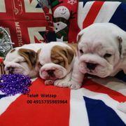 Englische Bulldogge Welpen verfugbar