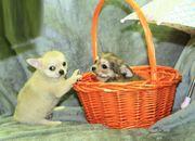 Mini Langhaar Chihuahua Welpen Rüde