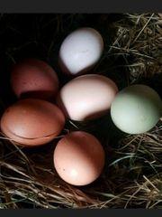bruteier von verschiedenen Hühnerrassen