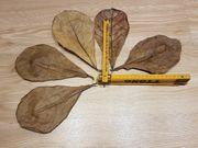 Seemandelbaumblätter Cattapa Leaves XL 25