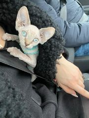 Canadische Sphynx Kitten Ice Blaue
