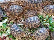 Griechische Landschildkröten NZ 2019