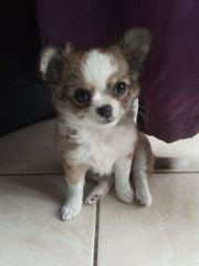 Süsse chihuahua welpen