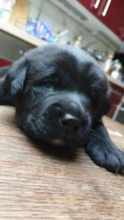 Labrador Welpen 8 Wochen