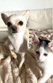 Liebevollen Chihuahua in gute Hände