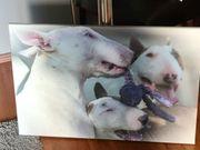 Bullterrier Bild abzugeben 75x50