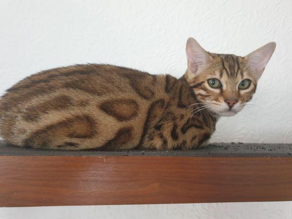 Bengal Kitten Sonderangebot weiblich