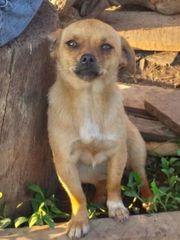 Chihuahua-Mischling Josie
