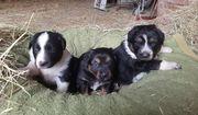 Verkaufe Mischlingswelpen Labrador BorderColli Cattle