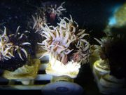 Koralle Rarität Tubastraea diaphana Schwarz