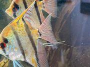 Zuchtpaar Wildform Skalar Rio Nanay