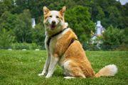 Goldfee 8 Jahre - Husky-Mix - Tierhilfe