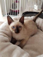 Nur noch 1 Thaikatze Kitten