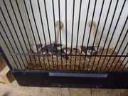 Zebrafinken-Schecken
