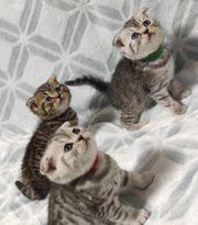scottish Fold Bkh Kitten beide