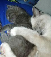 Heilige Birma Mix Kitten Katzenbaby