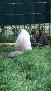 Wurf Ankündigung Reinrassige sibirische Kitten