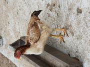 Zwei Shamo Hühner