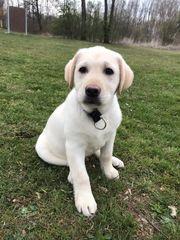 Labrador Rüde Welpe