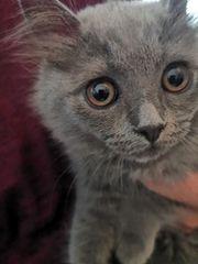 Bkh BLH-Kitten