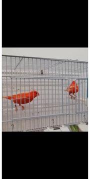 Kanarienvögel Pärchen Roten