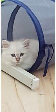 Sibirische Katzen dürfen ausziehen
