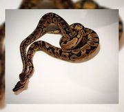 Python Regius 1 1 classic